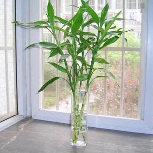 Hydroponic plants water to keep flowers luckybamboo transhipped lucky bamboo air purification foliage plant 1 - Bambu da Sorte