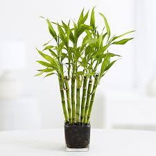 images 1 - Bambu da Sorte