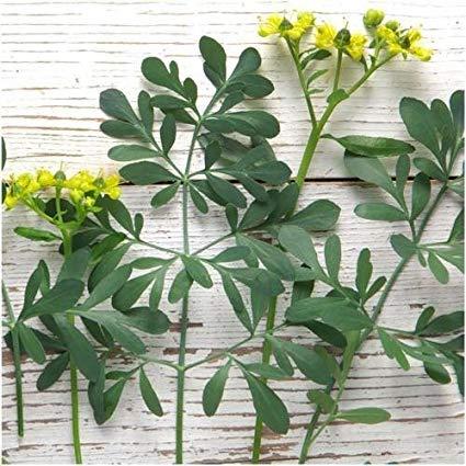 divisão da planta arruda - Arruda: Você conhece essa planta?