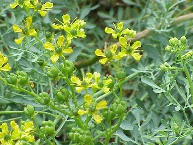 flores de arruda - Arruda: Você conhece essa planta?