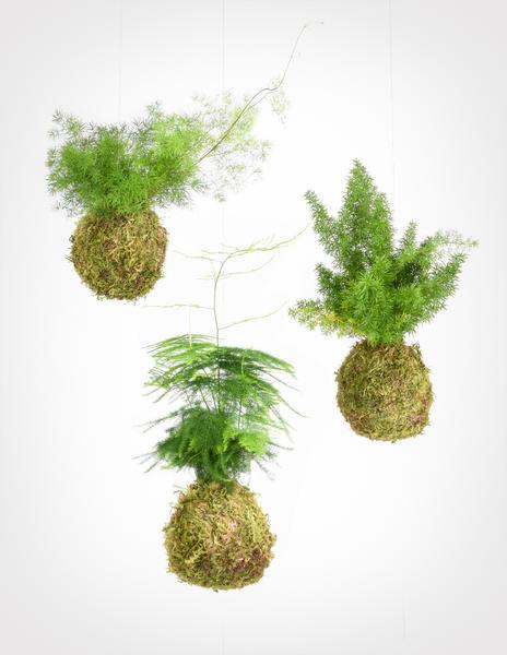Asparagus fern kokedama trio   pistils nursery grande 1 - Kokedama: Como fazer uma em 8 passos