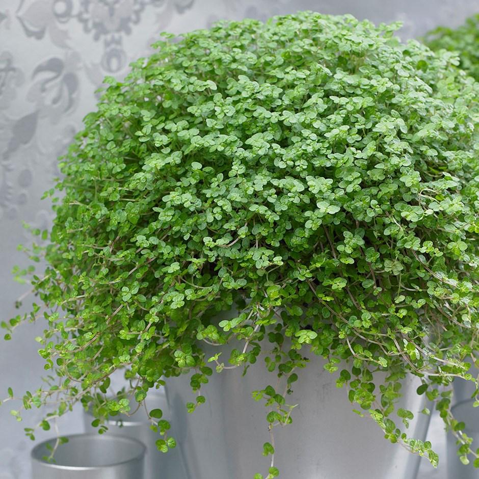 Lágrimas de bebê Soleirolia soleirolii - Conheça 13 Plantas de Terrário Fechado