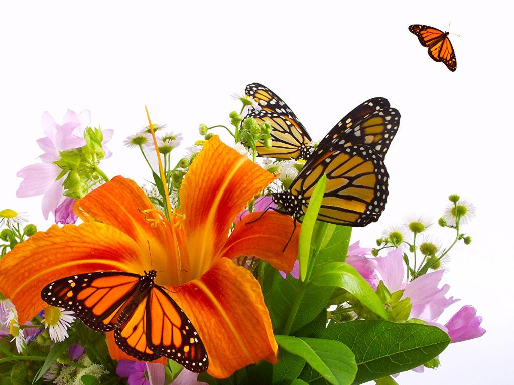 as borobletas amam 1024x768 - Lírios: Como cultivar em sua Casa