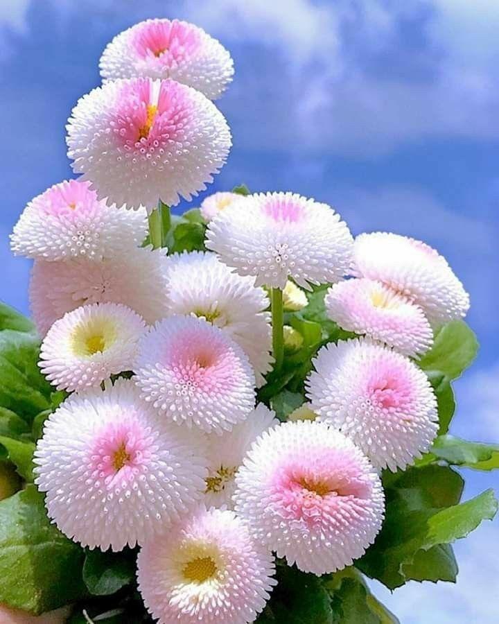bellis perennis - Flores únicas para o seu jardim