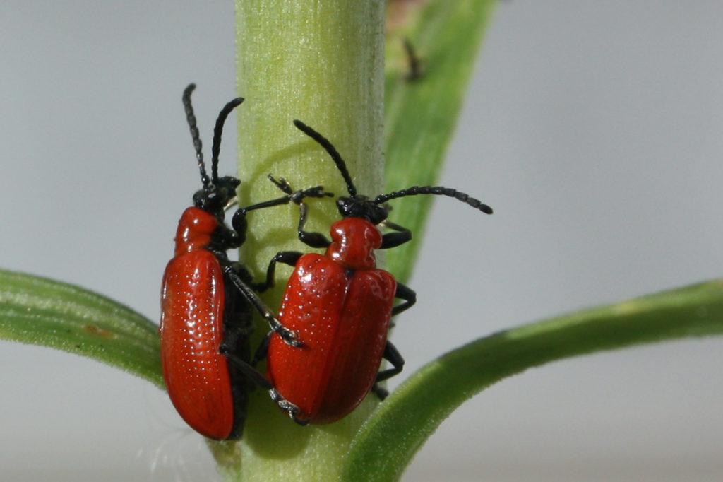 besouros 1024x682 - Lírios: Como cultivar em sua Casa