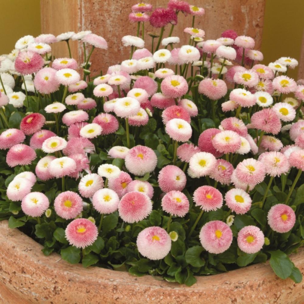 bonina em vaso - Flores únicas para o seu jardim