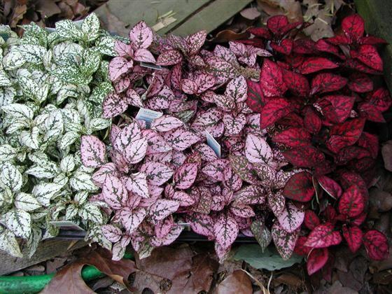 confete - Conheça 13 Plantas de Terrário Fechado