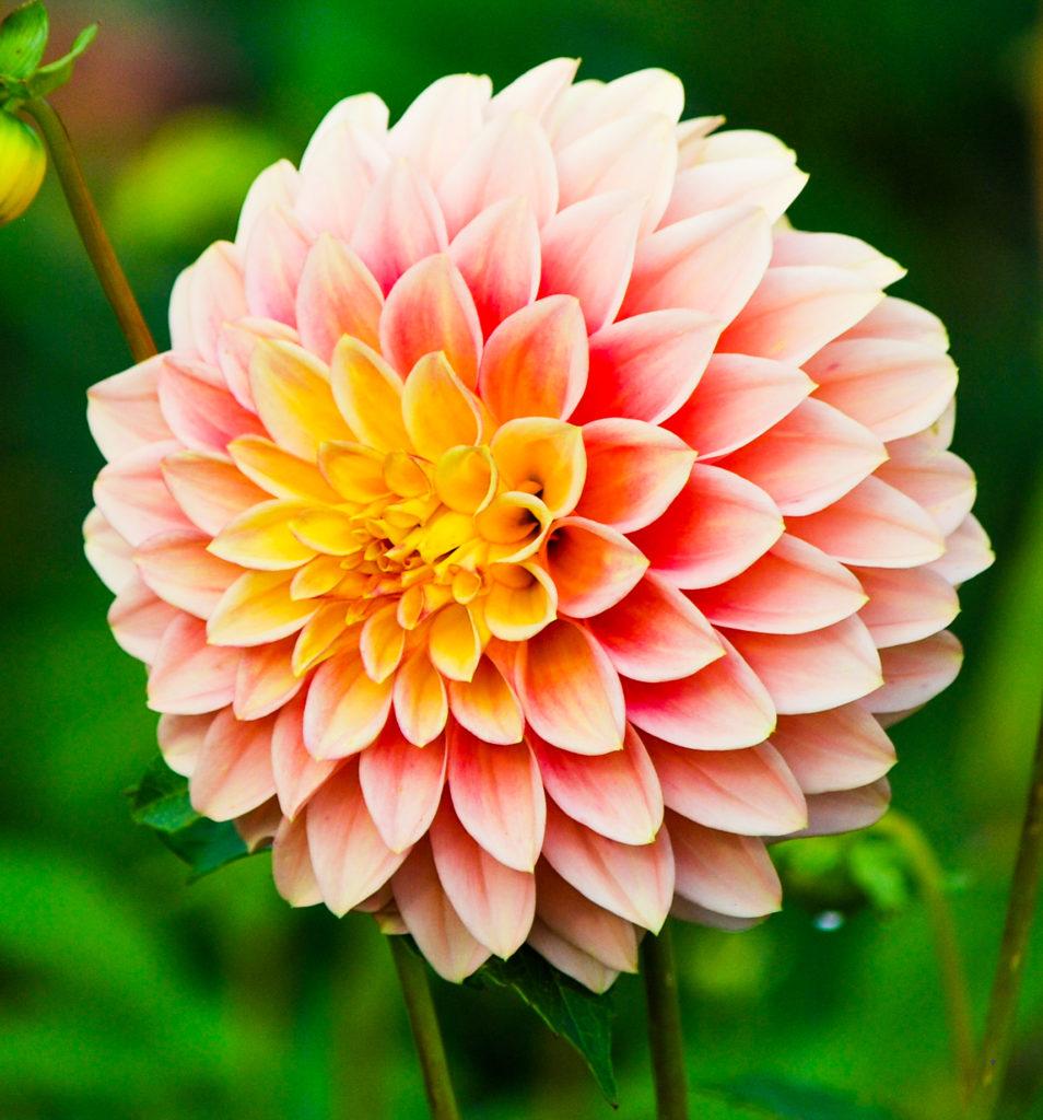 dalia 954x1024 - Qual a flor mais bonita do mundo?