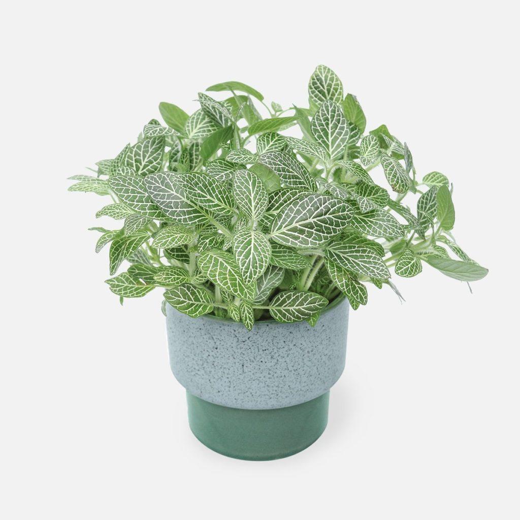 fitonia 1024x1024 - Conheça 13 Plantas de Terrário Fechado