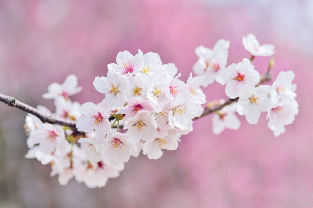 flor de cerejeira 1024x681 - Qual a flor mais bonita do mundo?
