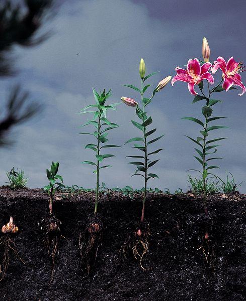 florescendo - Lírios: Como cultivar em sua Casa