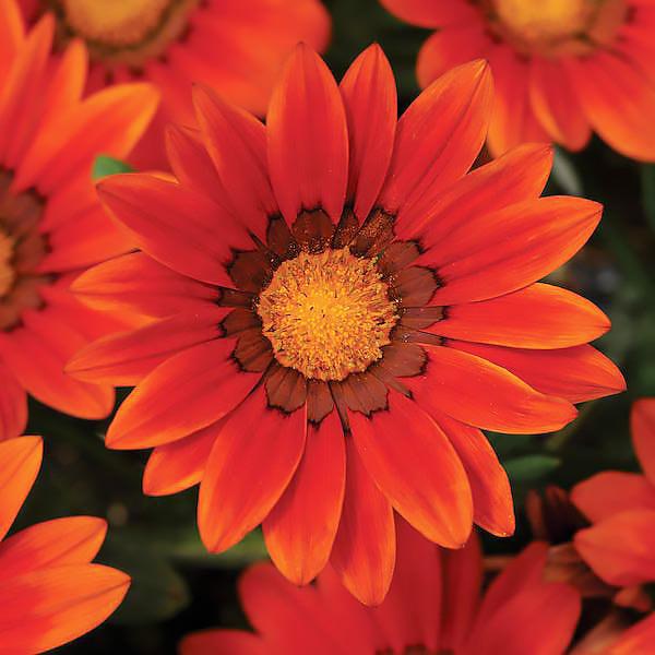 gazania - Qual a flor mais bonita do mundo?