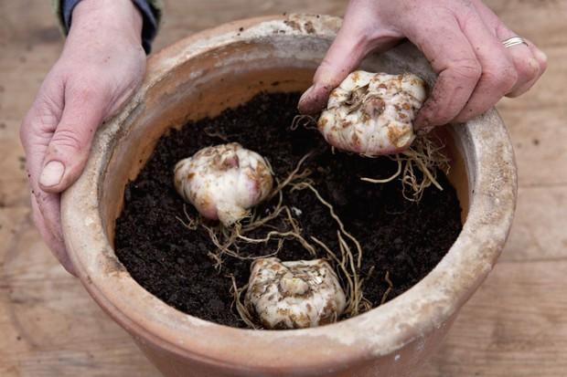 grupo de tres - Lírios: Como cultivar em sua Casa