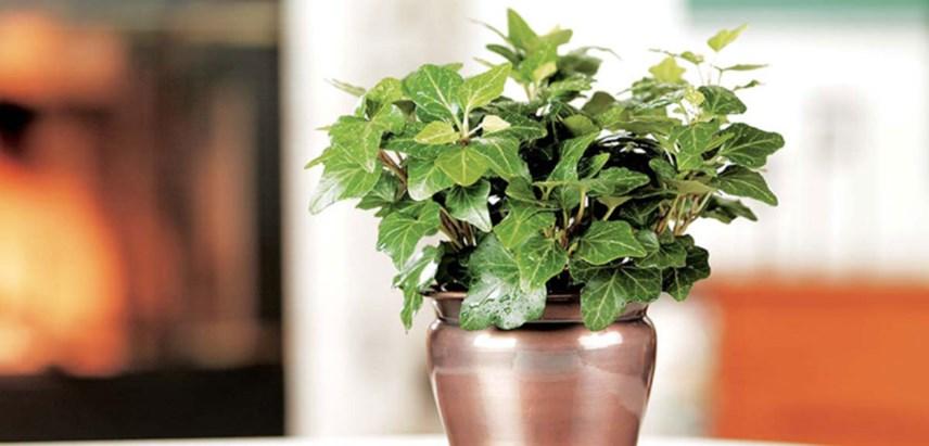 hera 1 - Hera Inglesa: Conheça essa plantinha