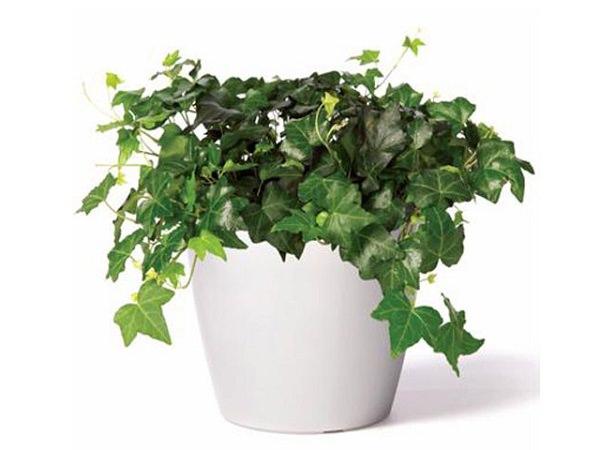 hera inglesa - Conheça 13 Plantas de Terrário Fechado