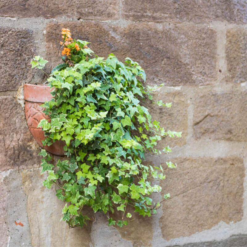 pendente - Hera Inglesa: Conheça essa plantinha