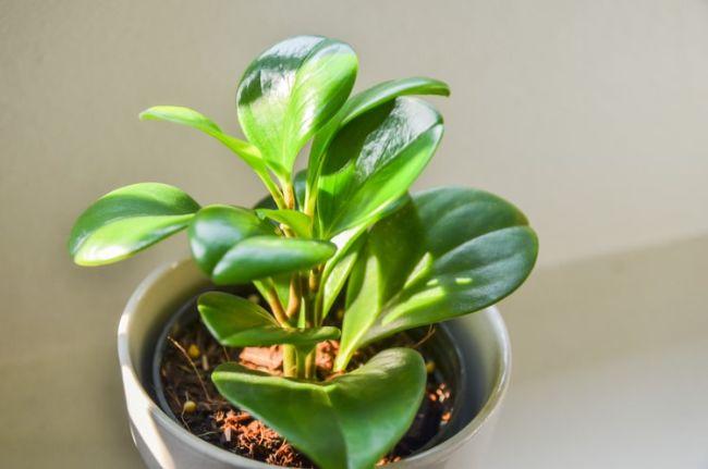 peperomia - Conheça 13 Plantas de Terrário Fechado