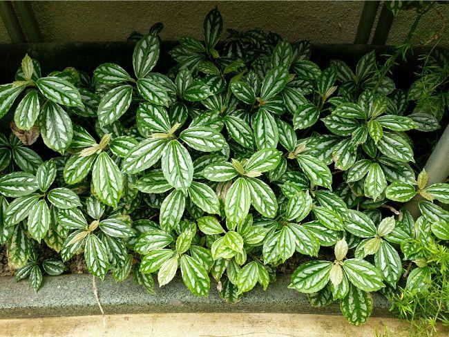 pileas - Conheça 13 Plantas de Terrário Fechado
