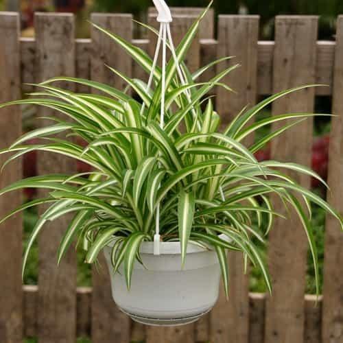planta aranha 2 - Conheça 13 Plantas de Terrário Fechado