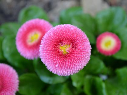 pompom - Flores únicas para o seu jardim