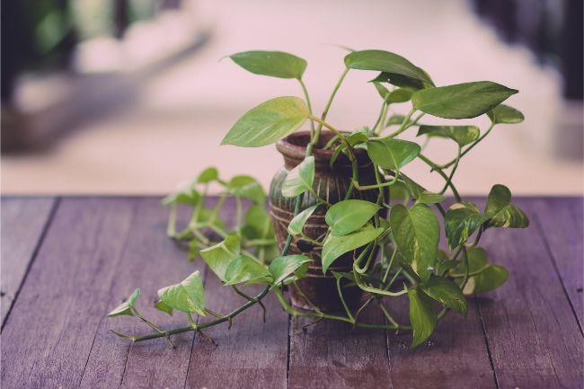 pothos - Conheça 13 Plantas de Terrário Fechado