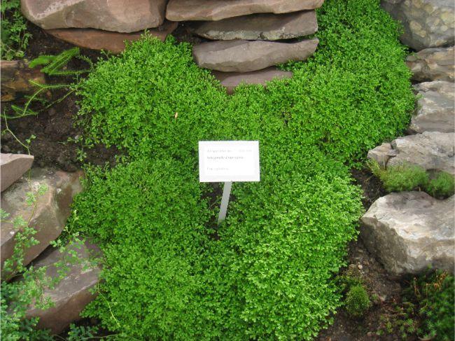 selaginella 1 - Conheça 13 Plantas de Terrário Fechado