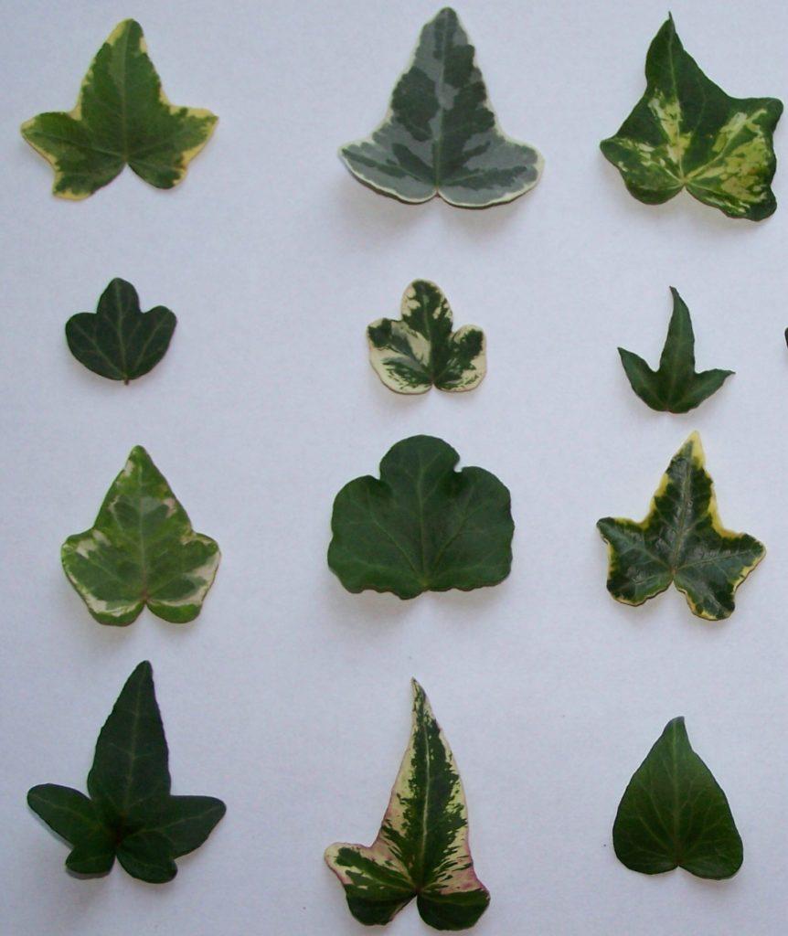 tipos das folhas 862x1024 - Hera Inglesa: Conheça essa plantinha