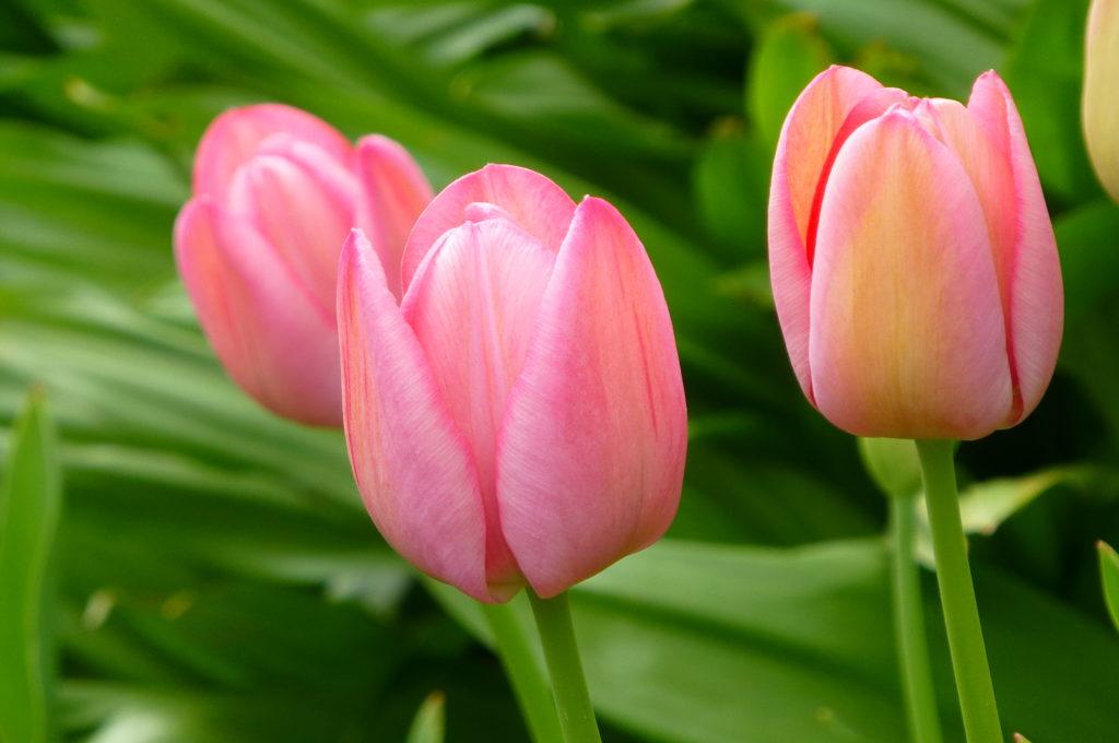 tulipa 1024x680 - Qual a flor mais bonita do mundo?