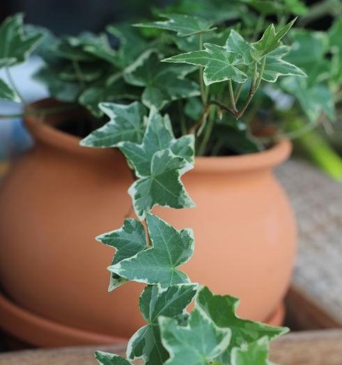vasinho - Hera Inglesa: Conheça essa plantinha