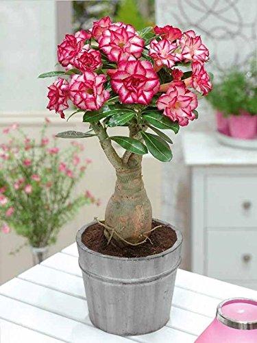 caule grosso - Rosa do Deserto Como Cuidar | Aprenda o Cultivo