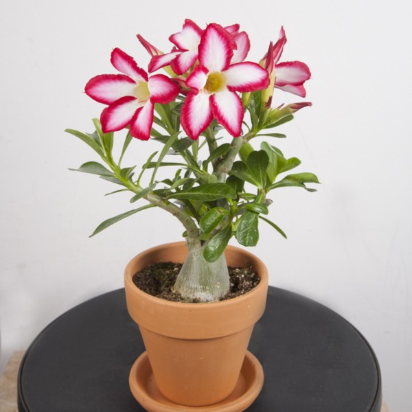 em vaso - Rosa do Deserto Como Cuidar | Aprenda o Cultivo