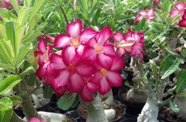 Rosa do Deserto Como Cuidar | Aprenda o Cultivo