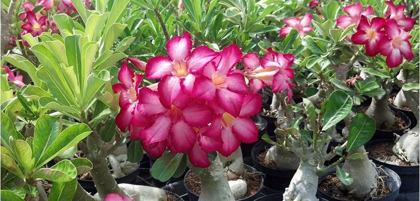 rosa do deserto - Rosa do Deserto Como Cuidar | Aprenda o Cultivo