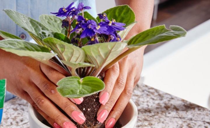 substrato - Como cuidar de violetas: Dicas Básicas