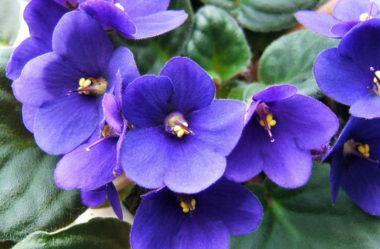 Como cuidar de violetas: Dicas Básicas