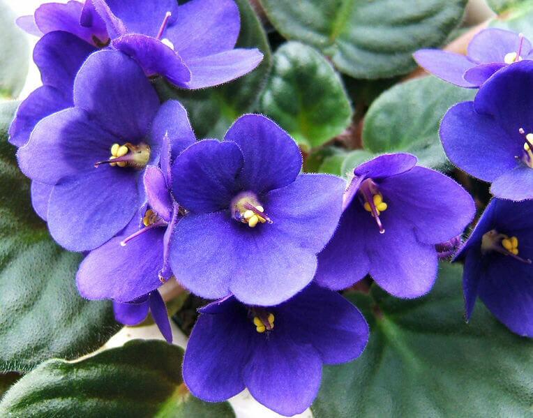 violetas - Como cuidar de violetas: Dicas Básicas