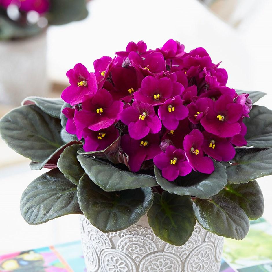 violetas1 - Como cuidar de violetas: Dicas Básicas