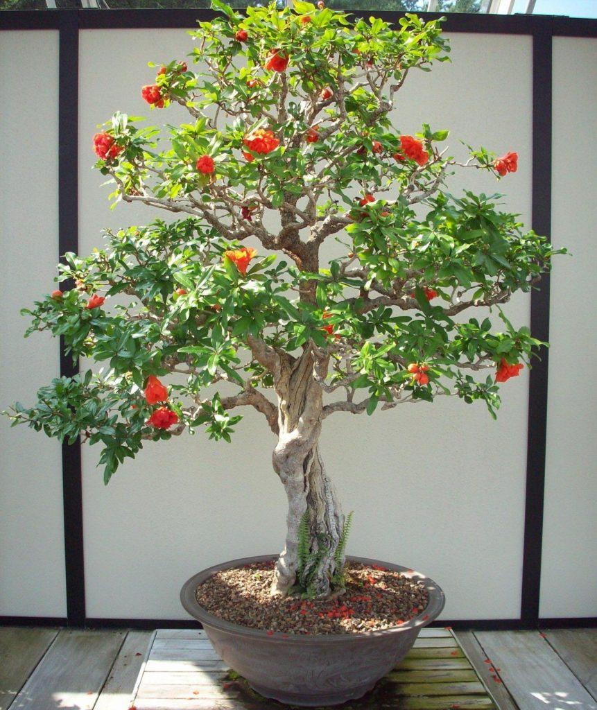 bonsai 1 861x1024 - ROMÃS   Como CULTIVAR no seu JARDIM