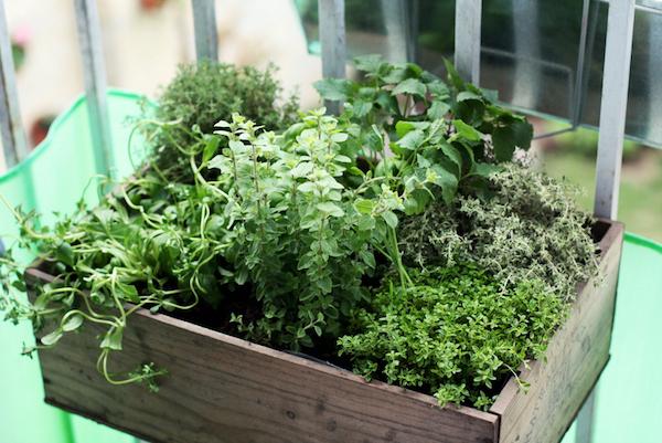caixa de temperos - Jardim em APARTAMENTO: Como Cultivar