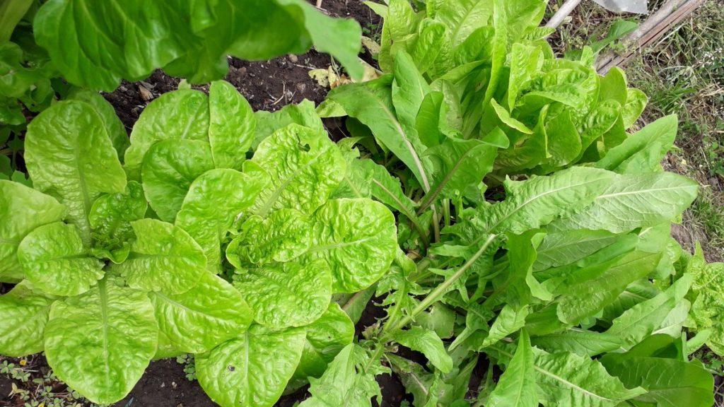 salada verde 1024x576 - PLANTAS para APARTAMENTOS   MELHORES Opções