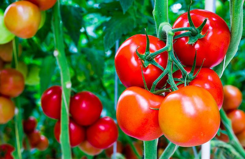 tomates organicos - PLANTAS para APARTAMENTOS   MELHORES Opções