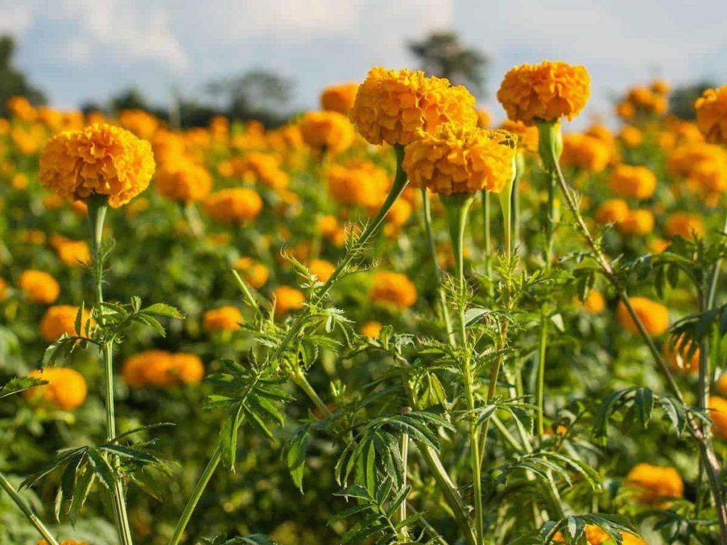 Tagetes 1024x768 - TAGETES - Conheça a Planta de Crescimento RÁPIDO