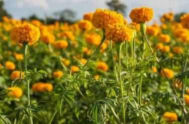 TAGETES – Conheça a Planta de Crescimento RÁPIDO