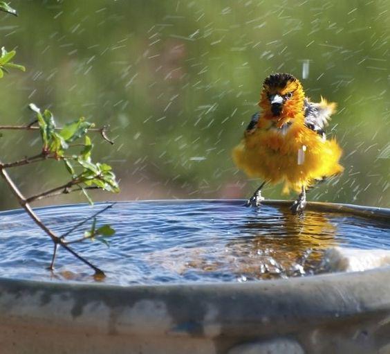 banho do pássaro - PÁSSAROS no Jardim | 5 PASSOS para Atrair