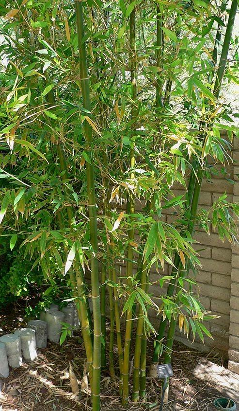 Bambuseae 1 - FLOR DE BAMBU: Você já viu uma?