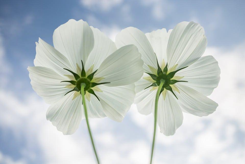 Flores Brancas - 15 Melhores FLORES BRANCAS para o seu JARDIM