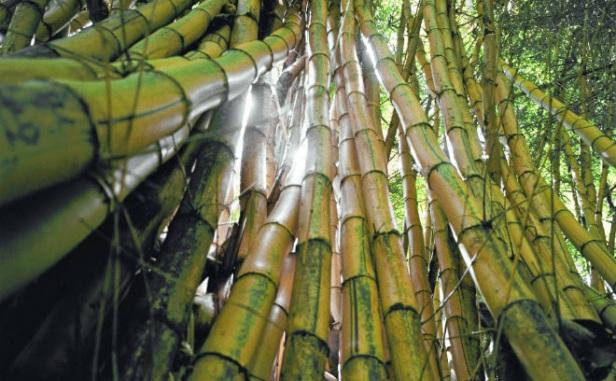 bambu - FLOR DE BAMBU: Você já viu uma?