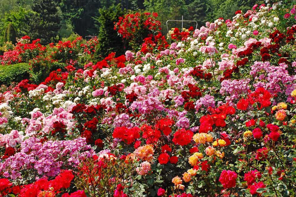 jardim de rosas - ROSAS | 10 DICAS de como CULTIVAR