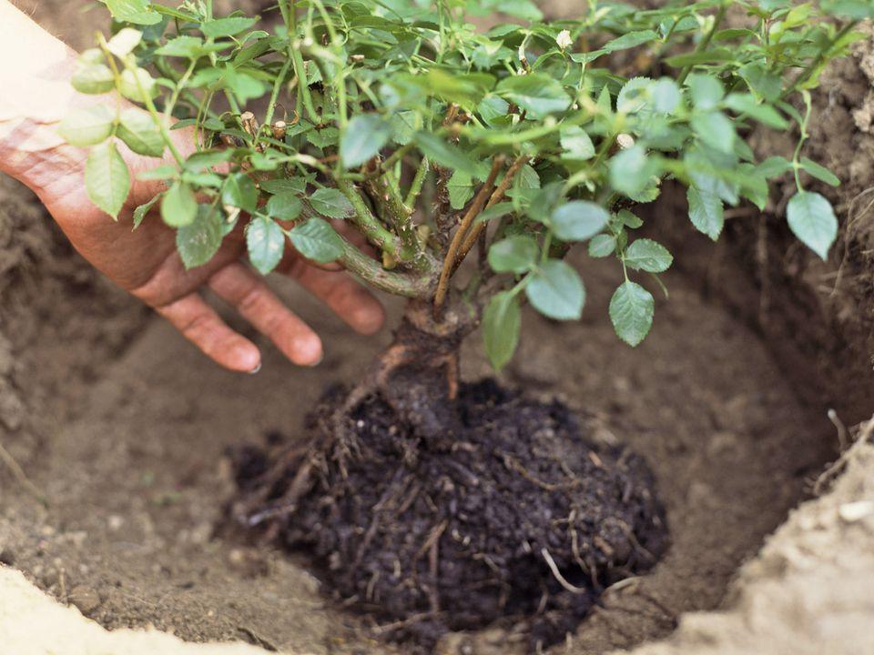 plantando - ROSAS | 10 DICAS de como CULTIVAR