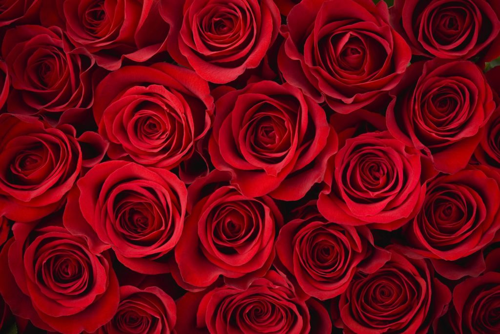 rosas 2 1024x683 - ROSAS | 10 DICAS de como CULTIVAR